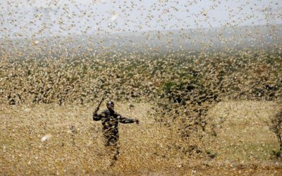Explained: What is the locust plague and impact on India